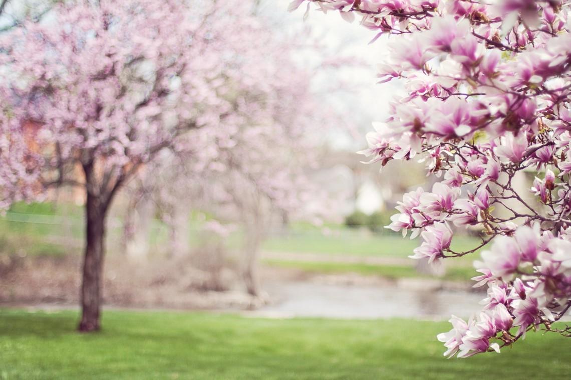Krakowska aleja zamieni się w magnoliowy ogród
