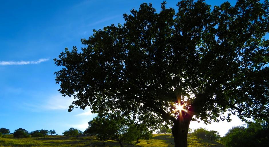 Ruszył konkurs Drzewo Roku. Zwycięzca ma pobudzać wyobraźnię i łączyć ludzi