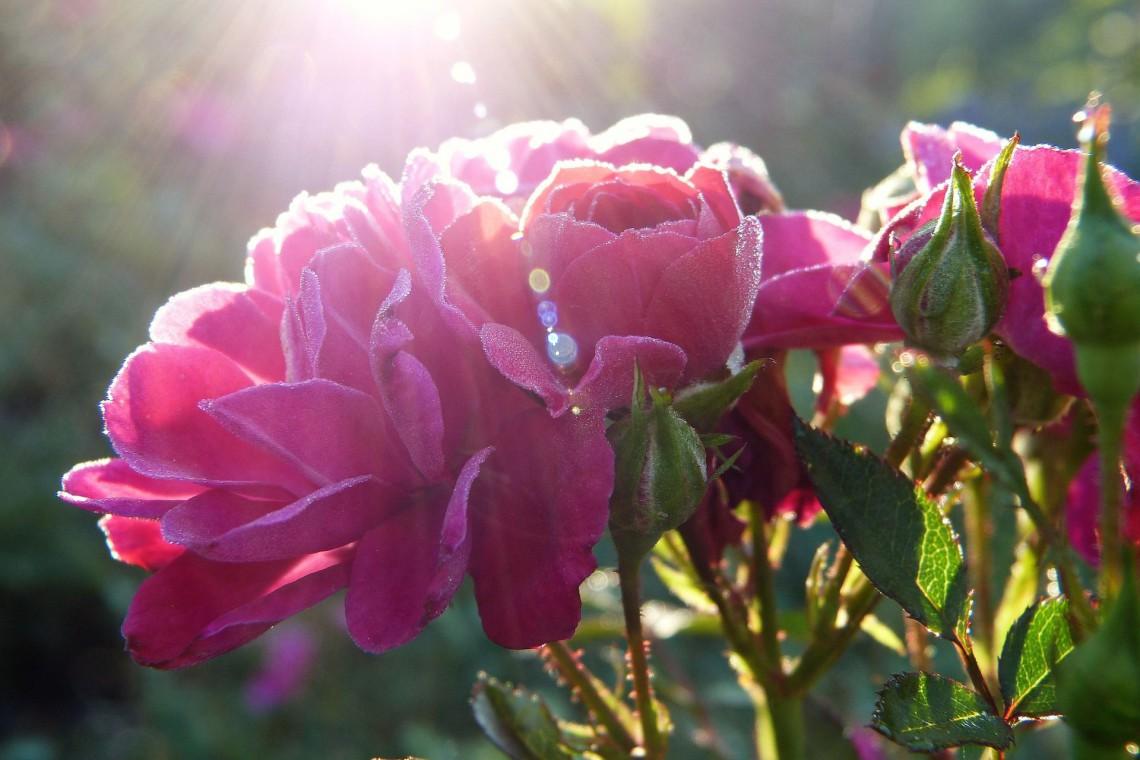 Niech róże wrócą do Alei Róż. To miejsce powinno odzyskać blask, być wizytówką Nowej Huty