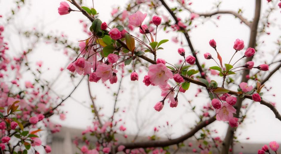 Wiśnie sakura ozdobią bulwar przy Muzeum Manggha w Krakowie