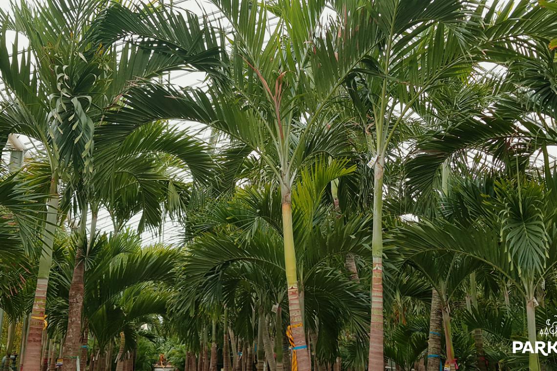 Oto palmy, które pojawią się w Suntago Wodny Świat! Proces aklimatyzacji trwa