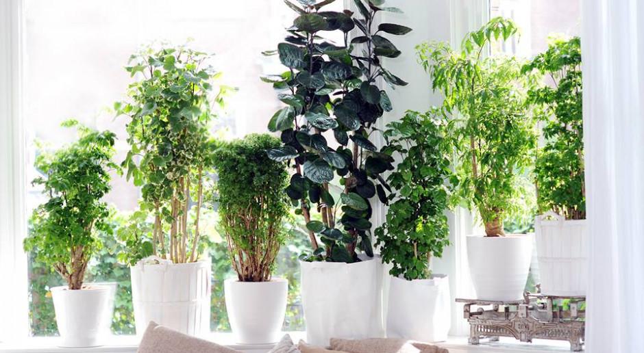 W domu i biurze zaleca się jak najwięcej roślin. Nie tylko oczyszczają powietrze, ale poprawiają samopoczucie