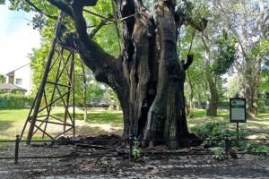 Co dalej z najstarszym drzewem w Warszawie?