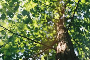 Szczecin szykuje się na wielkie sadzenie drzew. W mieście przybędzie ich ponad 600