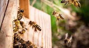 Wieszanie kłód bartnych, łąki kwietne i remizy dla pszczół. Tak leśnicy świętują Światowy Dzień Pszczół