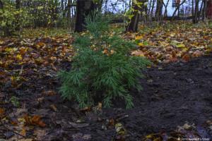 Zielony Sopot. W Parku Północnym posadzono egzotyczne sekwoje