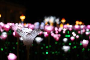 W Królewskim Ogrodzie Światła w Wilanowie znowu rozbłysną zimowe róże