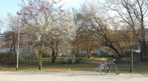 Gdańsk niczym Tokio. W mieście powstanie Skwer Kwitnących Wiśni