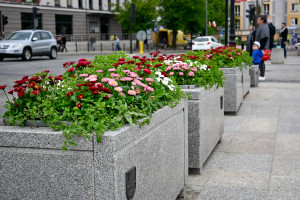 Miejskie stokrotki trafią do białostockich ogródków